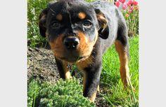 Lexi the Rottweiler