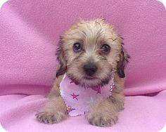 Burbank, CA - Maltese/Poodle (Miniature) Mix. Meet Remy, a puppy for adoption.…
