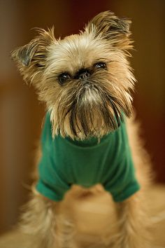 Baby brussels griffon. I love these dogs. Great personalities.