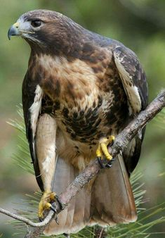 Hawk - Bird - Bird of Prey.live on forested property.since being reclused.in the house.they do fly byes.just sit in a tree.missing you all. All Birds, Birds Of Prey, Love Birds, Pretty Birds, Beautiful Birds, Animals Beautiful, Buse Variable, Rapace Diurne, Hawk Bird