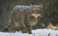 Gato selvagem é coberto pela neve na Escócia