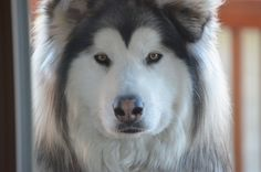 Learn how to train Alaskan malamute dogs from puppyhood up to adulthood. Simple logical ways that can be used for a mal of any age.