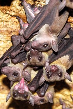 Brave Animals, Cute Animals, Murcielago Animal, Beautiful Creatures, Animals Beautiful, Bat Species, Bat Flying, Baby Bats, Fruit Bat
