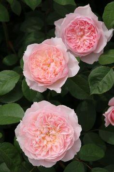 Rosa 'Wisley 2008'