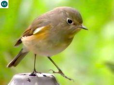 https://www.facebook.com/WonderBirdSpecies/ Red-flanked bluetail/Orange-flanked bush-robin (female)(Tarsiger cyanurus); Northern Asia and northeastern Europe; IUCN Red List of Threatened Species 3.1 : Least Concern (LC)(Loài ít quan tâm) || Oanh đuôi lam hông đỏ (mái); Bắc Á và đông-bắc châu Âu; HỌ ĐỚP RUỒI - MUSCICAPIDAE (Old World Flycatchers).