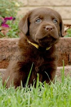 Chocolate lab puppy :)