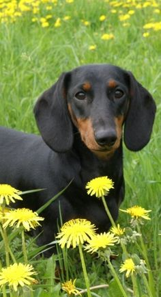 ❤ loveable doxie