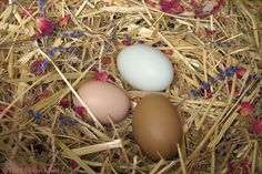 8 Tips for CLEAN EGGS from Backyard Chickens.  ~The Chicken Chick