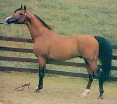 ETER (Comet x Estokada, by Amurath Sahib) 1963-1982 bay stallion imported to the US 1968 by Frank Smith; sired 187 registered purebreds