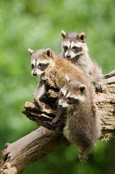 Cute Fangs, Feathers & Fins by Nae-Design Animals And Pets, Baby Animals, Funny Animals, Cute Animals, Cute Raccoon, Racoon, Forest Creatures, Most Beautiful Animals, Wild Dogs