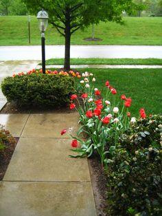 Darwin Hybrid Tulips - Flaming Jewel, Red Impression