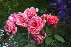 Rosa 'Pariser Charme'