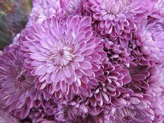 lavender chrysanthemum - secondary flowers