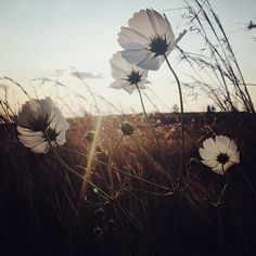 The #cosmos flowers are out in the Free State at this time of the year. Autumn is upon us. @instagram #whpflowerpower - @levonlock- #webstagram