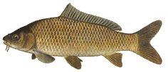 Common carp--a common game fish in Ohio