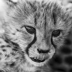 Marlike Marks | Afrika | Jonge Cheeta