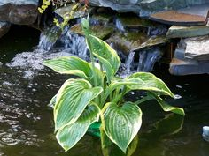 Hostas in your pond. Either floating bareroot or planted so water barely reaches the crown.