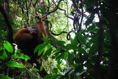 Off the beaten track #2: Orang-oetans spotten in Ketembe, Sumatra