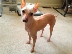Mojita is an adoptable Xoloitzcuintle (Mexican Hairless) Dog in Aaron, KY. Please read our main web page (see link below) to find out about our adoption procedures and fees before making an inquiry on...