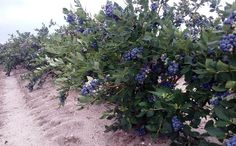 Growing blueberries is easy when you buy blueberry plants from DiMeo Farms. Call: (609) 561-5905 and let's talk about blueberry bushes. We can ship ultra-premium blueberries plants direct to your door for less.