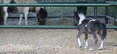 A Future Champion in Action! - Squee daily at these cute animals and the absolute cutest animal pics and gifs ever known to man. Funny Horses, Cute Horses, Pretty Horses, Horse Love, Beautiful Horses, Animals Beautiful, Mini Horses, Cute Funny Animals, Cute Baby Animals