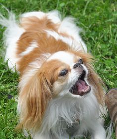 yawning japanese chin cutest dogs ever looks like the zsazsh that owns my heart