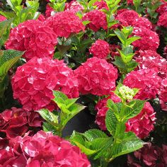 Magical Ruby Red Hydrangea at Park Seed Hydrangea Bloom, Hydrangea Colors, Hydrangeas For Sale, Colorful Flowers, Beautiful Flowers, Hydrangea Macrophylla, Foundation Planting, Backyard Plants, Landscaping Supplies