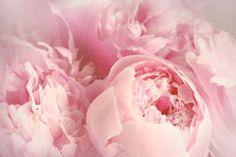 Closeup of peony flowers Stock Photography