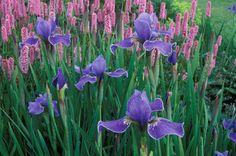 Spring Combination Ideas, Bulb Combinations, Plant Combinations, Flowerbeds Ideas, Spring Borders,Summer Borders, Persicaria Bistorta Superba, Bistort, Siberian Iris Silver Edge, Iris Sibirica Silver Edge