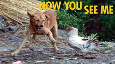 Dog Attacks Chicken Picture And Images - Animal Fights 24