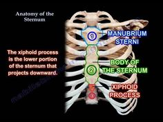 Anatomy Of The Sternum - Everything You Need To Know - Dr. Nabil Ebraheim