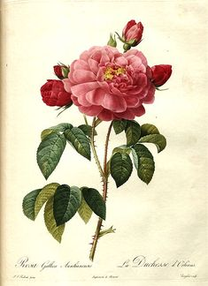 "File: gallica aurelianensis.jpg  ""Les Roses"" by Pierre-Joseph Redouté, published in Paris in 1817-24, page 431; book scan from the Library of Congress: http://lccn.loc.gov/50049695   This image (or other media file) is in the public domain because its copyright has expired."