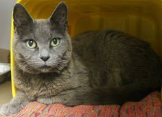 ADOPTED>Intake: 7/2 Available: 7/8 NAME: Gracie  ANIMAL ID: 28291082 BREED: DSH  SEX: Spayed Female  EST. AGE: 8 yrs  Est Weight: 6.9 lbs  Health: Has dental disease  Temperament: Friendly  ADDITIONAL INFO:  RESCUE PULL FEE: FREE!!