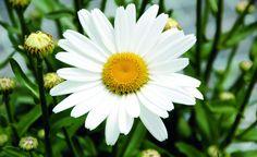 Weiße Zungenblüte, gelbe Mitte: so kennt jeder die klassiche Margerite (Argyranthemum frutescens)