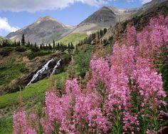Reconnect with nature. Photo of Fireweed in the Yankee Boy Basin by David Clack - Colorado Flora And Fauna, Orange County, The Great Outdoors, Basin, Wild Flowers, Places To Go, Nature Photography, Colorado, Fine Art