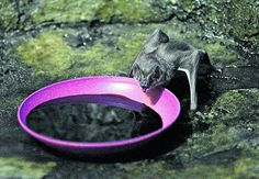 Vampire bat saliva, rich in anticoagulants, could reopen clogged human blood vessels so that damage and even death from some strokes could b...