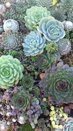 succulent succulents #garden #plants #green #love
