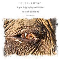 """""""E L E P H A N T S !"""" is Tim Sabatino's next series of photographs and video from India, portraying wild and tame elephants in all their greatness."""