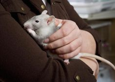 Information on caring for pet rats including setting up a rat cage, and providing toys and exercise, and feeding.
