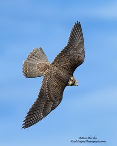 Peregrine Falcon                                                                                                                                                                                 More