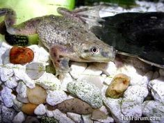 Goldfish and Aquarium Board Article-Aquatic Frogs: African Dwarf Frogs Care Sheet Marine Aquarium, Saltwater Aquarium, Aquarium Fish, Community Fish Tank, Frog Terrarium, Terrariums, Dwarf Frogs, Frog Tank, White Worms