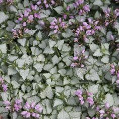 Orchid Frost Lamium | Spring Hill Nurseries