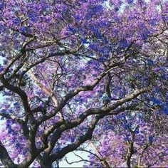 The Paulownia tree is native to China. Its botanical name is Paulownia tomentosa but it is commonly referred to as the princess or empress tree.