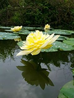 Lotus Garden, Lotus Pond, Pond Life, Lily Pond, Ponds Backyard, Aquatic Plants, Lotus Flower, Beautiful Landscapes, Gardening Tips