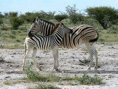 Park, Zebra Mother With Zebra Kid Africa Safari Free Pictures, Free Photos, Free Images, Zebra Kids, Vacation Trips, Vacations, Zebras, Animals, Wildlife Safari