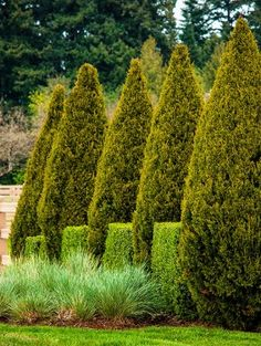 Spartan Juniper - a stately, uniform look to any backyard, and their compact foliage makes them effective windbreak trees. Privacy Trees, Privacy Plants, Garden Privacy, Small Yard Landscaping, Landscaping Company, Landscaping Plants, Landscaping Ideas, Windbreak Trees, Trees And Shrubs