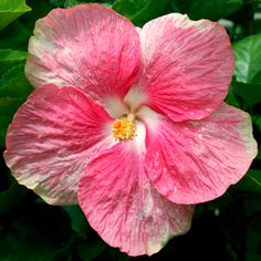Hibiscus 'Crystal Pink'