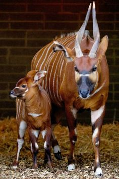 The Dublin Zoo in Ireland is celebrating the birth of an Eastern Bongo calf, a female born last month to parents Kimba and Sam. She weighed in at a healthy 44 pounds (20kgs). And it looks like half of that was all in her ears!