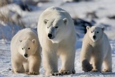 Pictures Of Polar Bears, Bear Photos, Cute Animals Puppies, Cute Baby Animals, Wild Animals, Seal Hunting, Polar Bear Face, Baby Otters, Bear Cubs