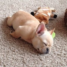 Naps can happen out of nowhere... @thefrenchham ❤️ Tag #frenchies1 for…